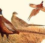 блюда из фазана