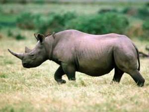 Охота на носорога