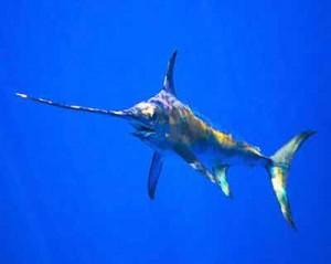 Рыба- меч